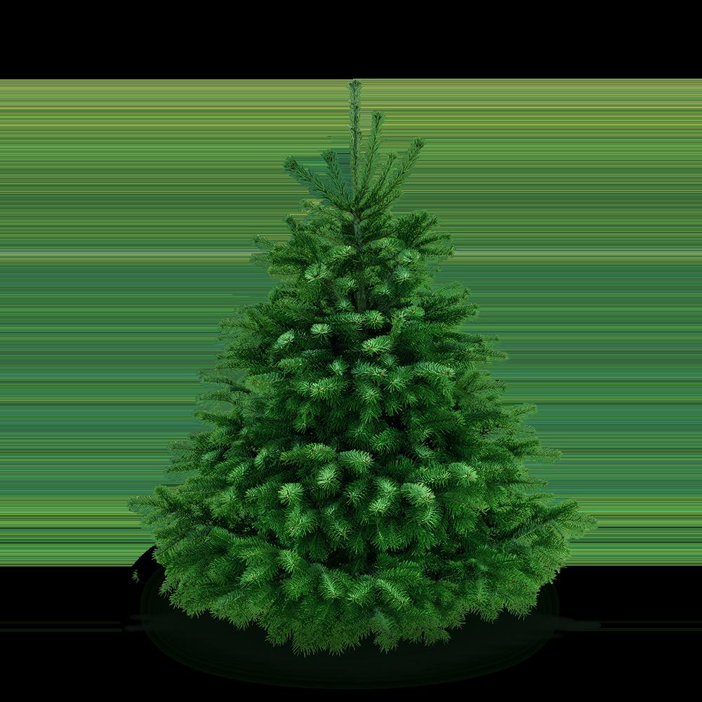Weihnachtsbaum 150 - 165 cm