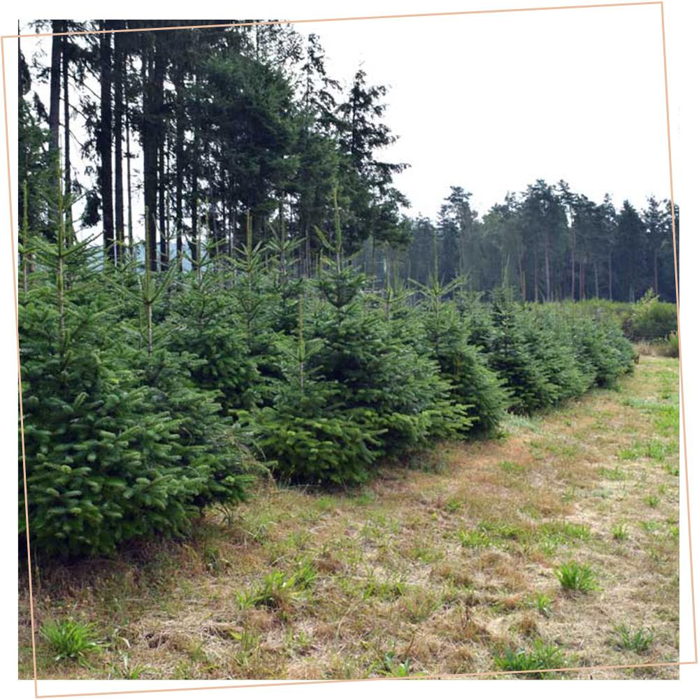 Weihnachtsbäume von Tannenhelden auf dem Feld